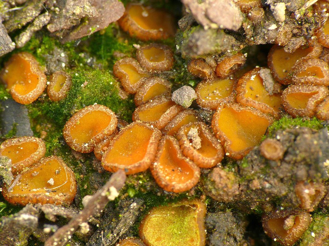Anthracobia nitida (Fastbehaarter Brandstellenbecherling)