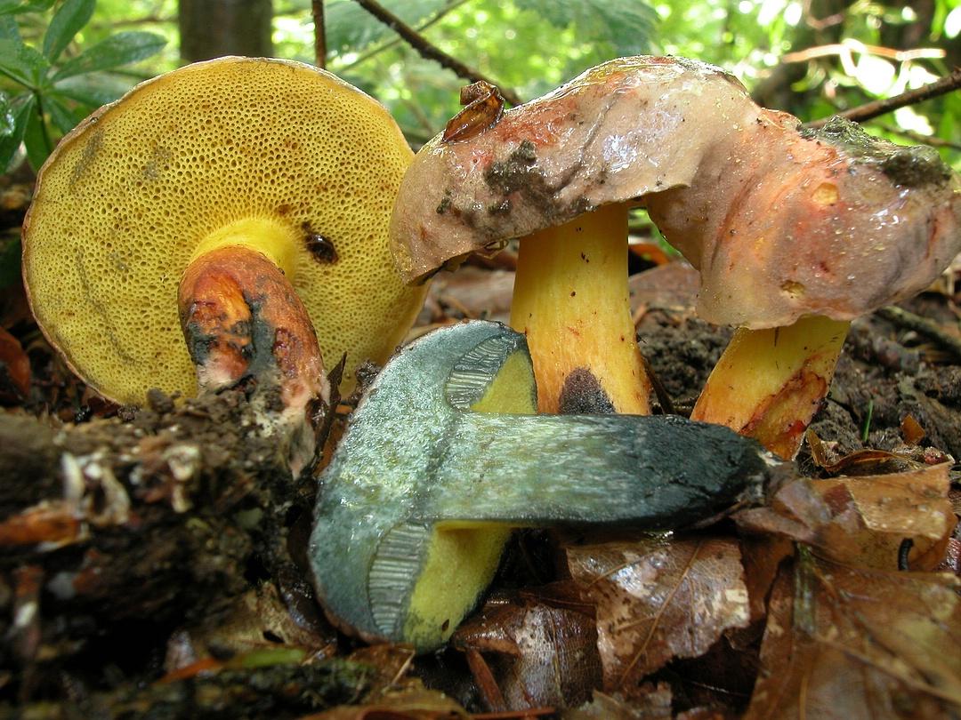 Boletus pulverulentus (Schwarzblauender Röhrling)