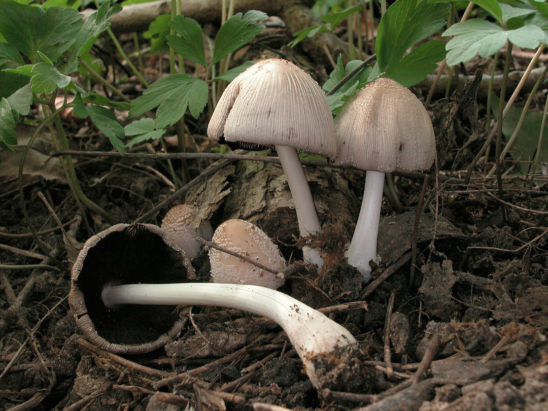 Coprinus domesticus (Haustintling)