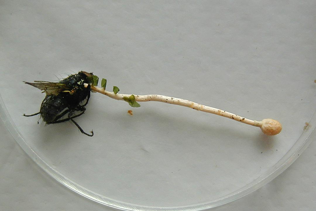 Cordyceps forquignonii (Fliegenkernkeule)