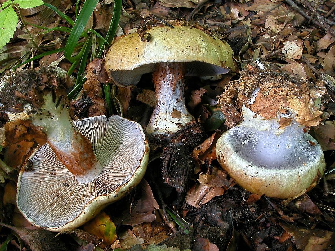 Cortinarius anserinus (Buchenklumpfuss)