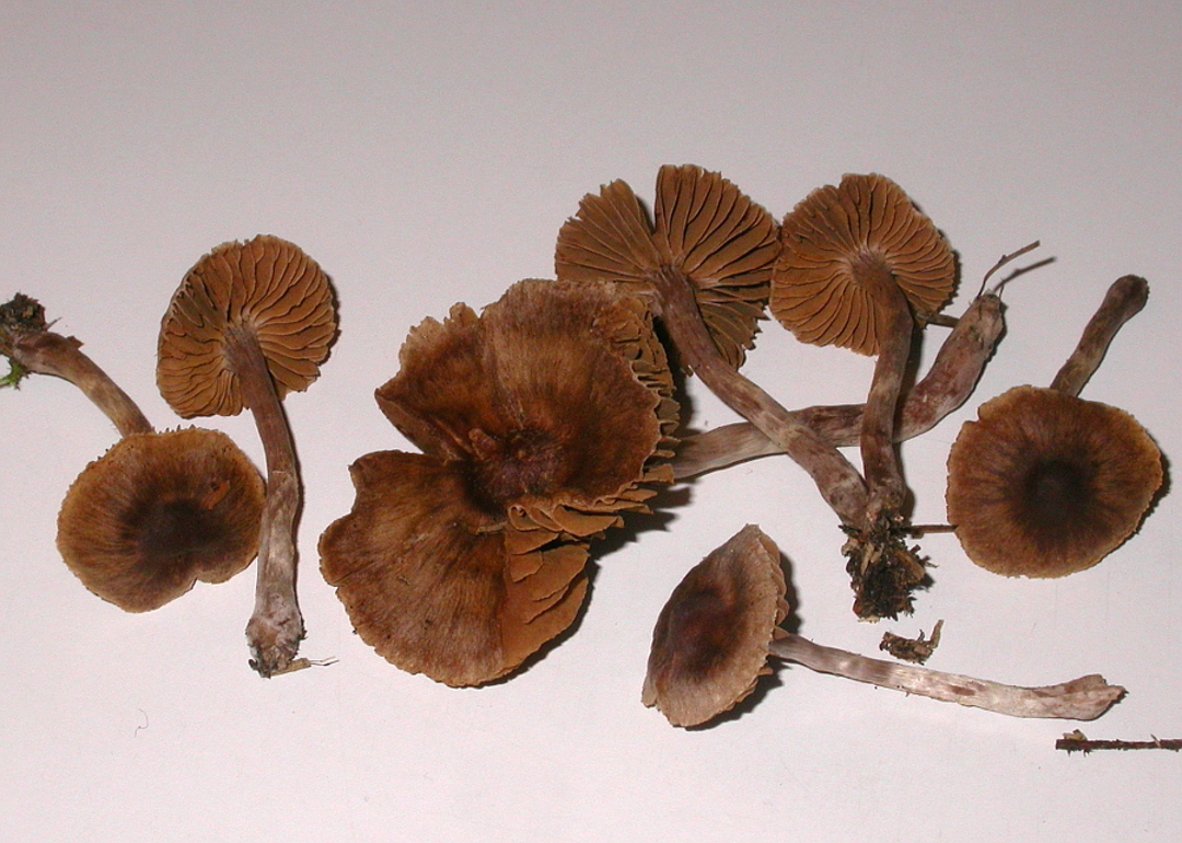 Cortinarius casimiri (Grosssporiger Buckel-Gürtelfuss)