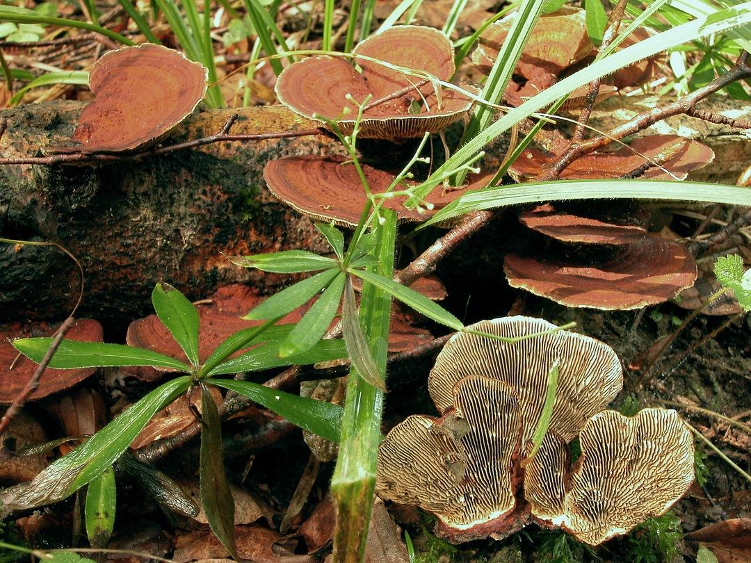 Daedaleopsis tricolor (Dreifarbene Tramete)