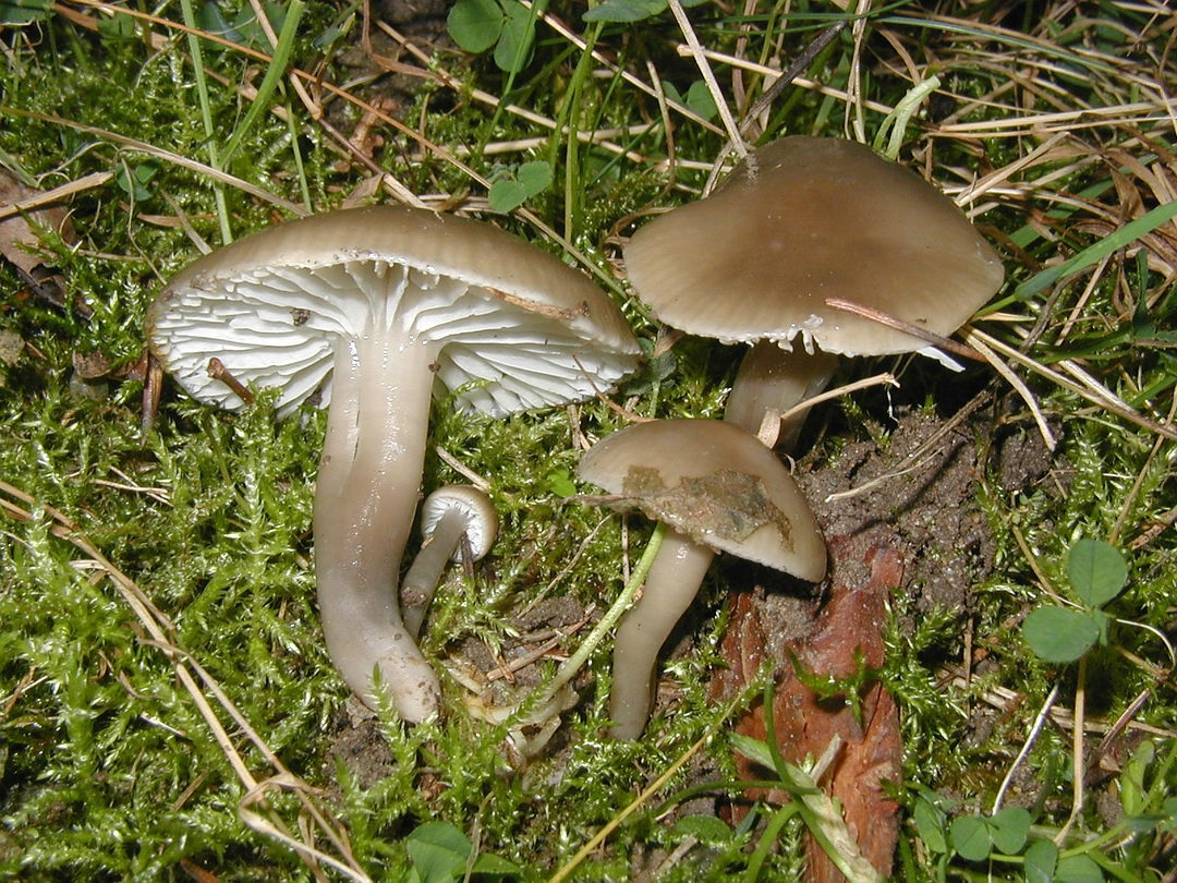 Hygrocybe unguinosa (Grauer Saftling)
