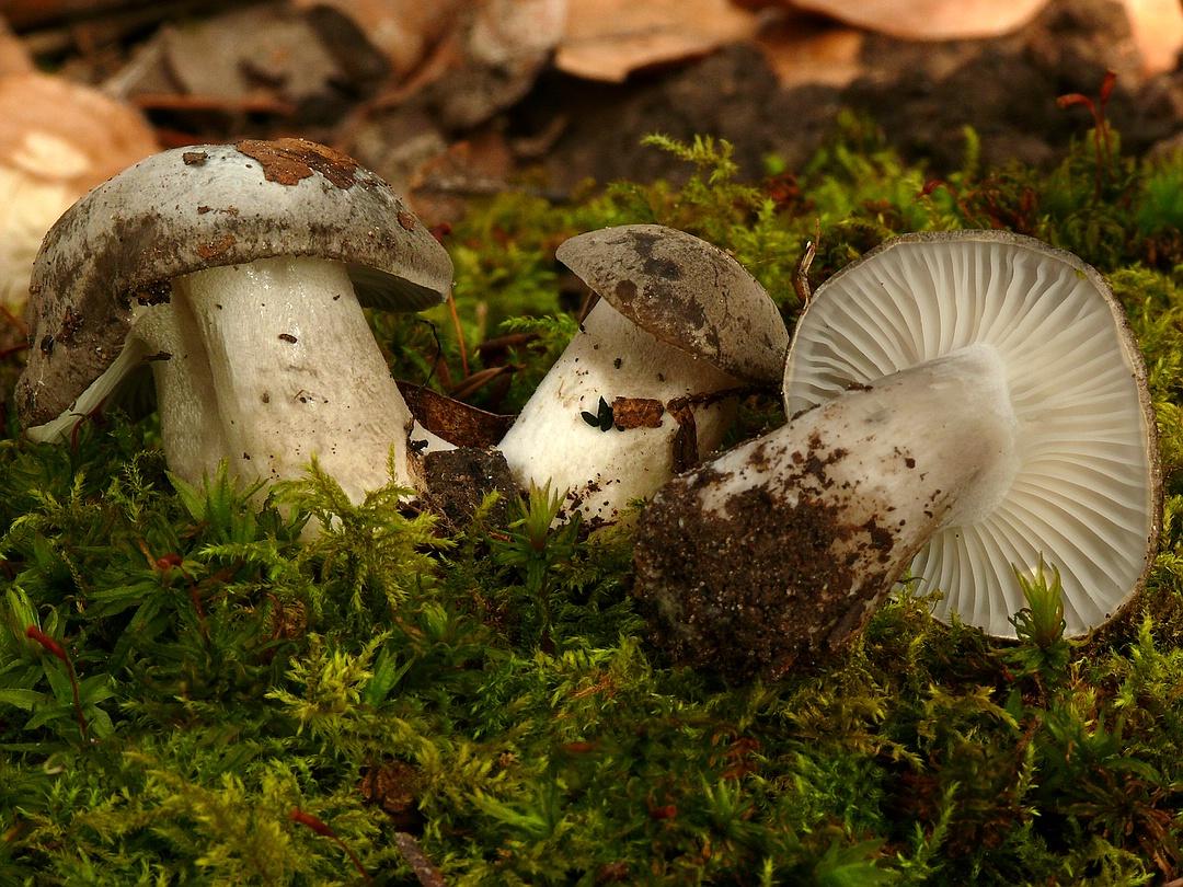 Hygrophorus marzuolus (Märzschneckling, Märzellerling)