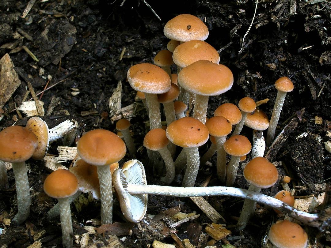 Hypholoma marginatum (Natternstieliger Schwefelkopf)
