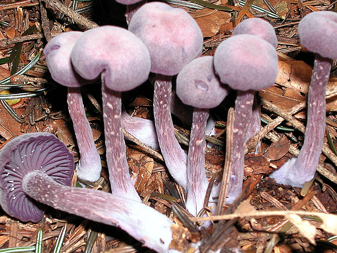 Laccaria amethystina (Violetter Lacktrichterling)