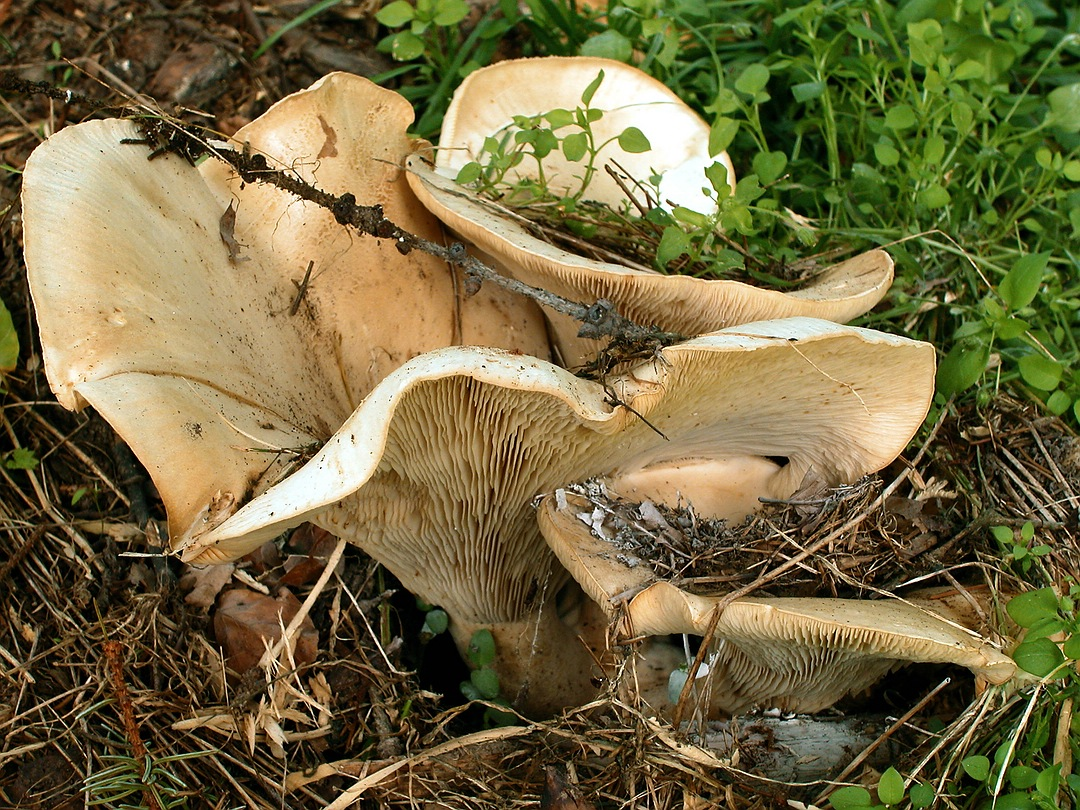 Leucopaxillus giganteus (Riesen-Krempentrichterling)