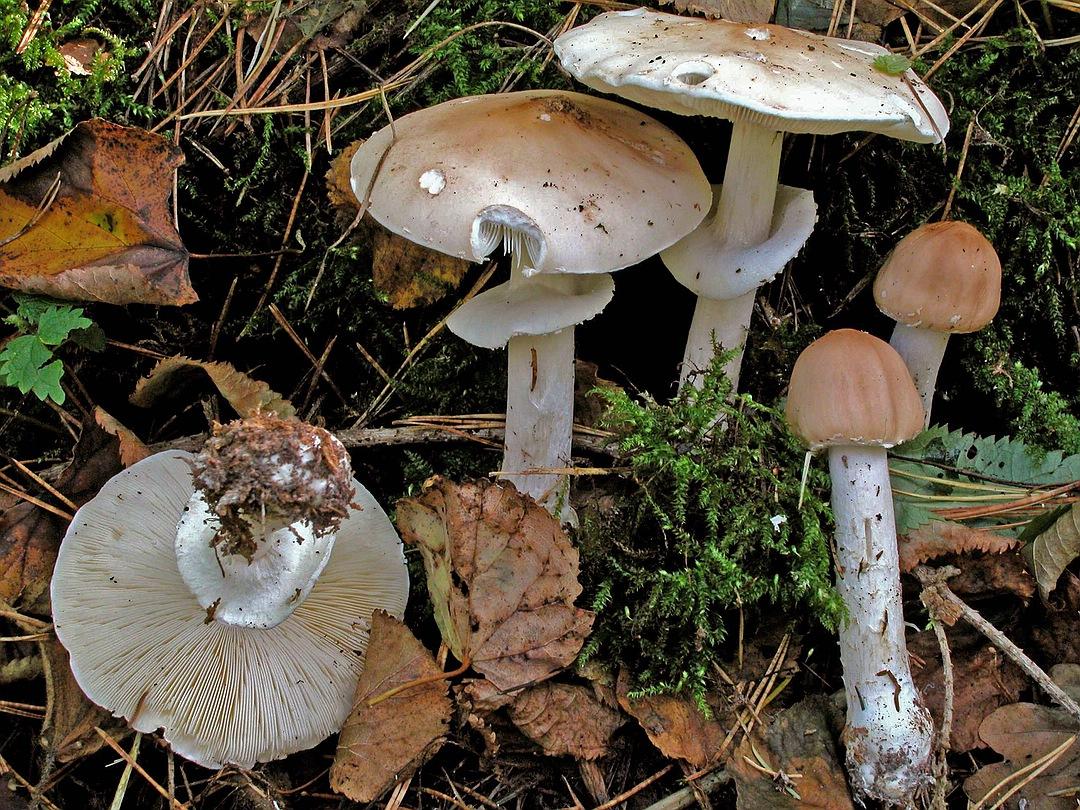 Limacella guttata (Getropfter Schleimschirmling)