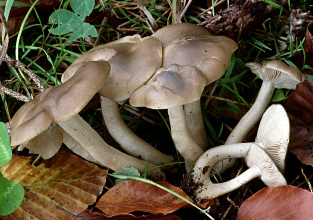 Lyophyllum decastes (Büscheliger Rasling)