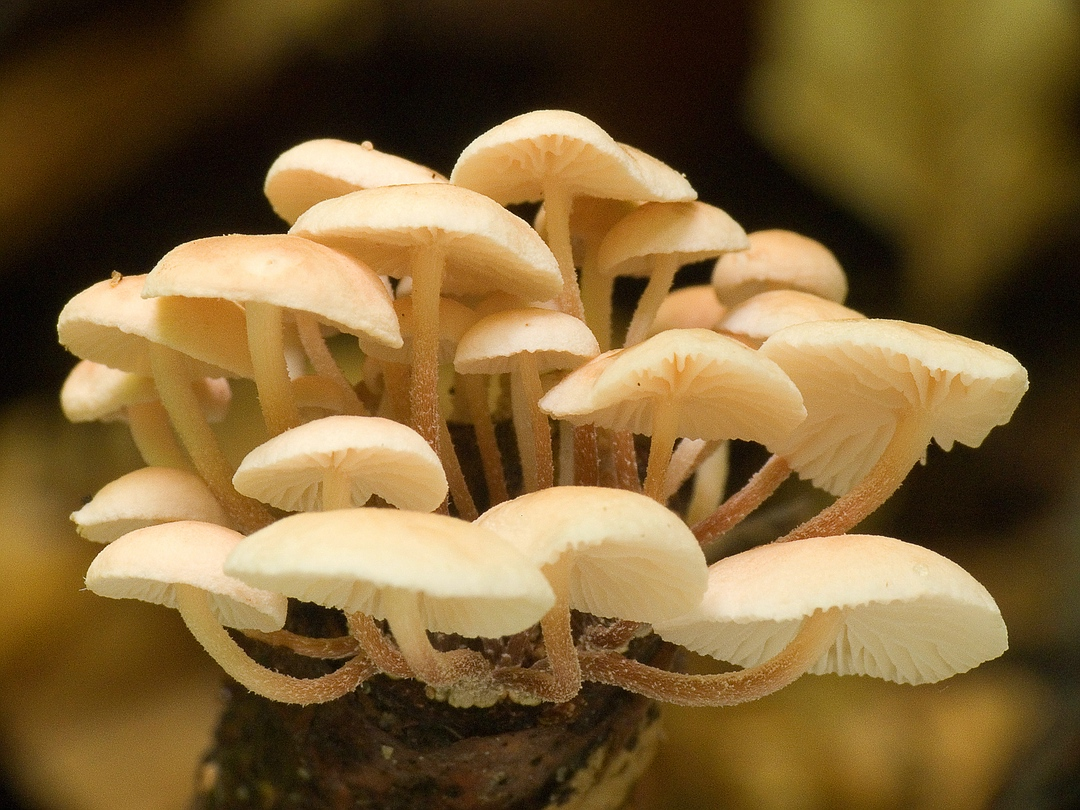 Marasmiellus ramealis (Ästchen-Schwindling)