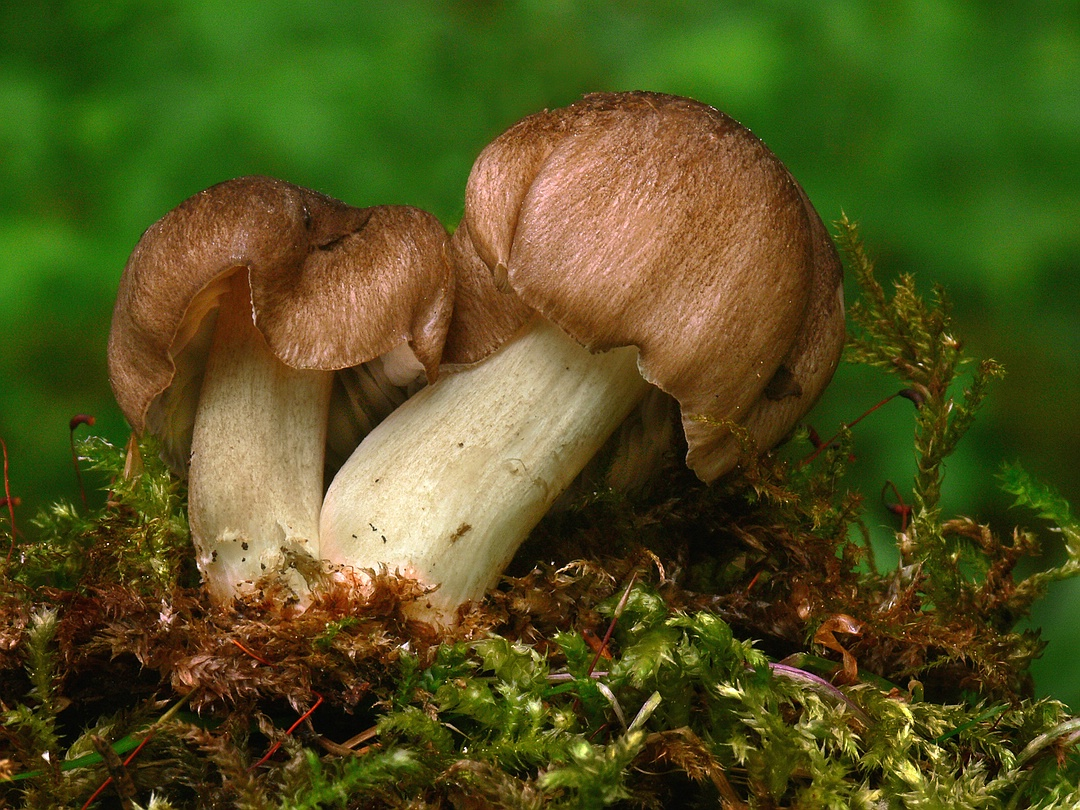 Megacollybia platyphylla (Breitblättriger Samtrübling)