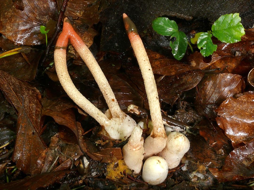 Mutinus caninus (Gemeine Hundsrute)