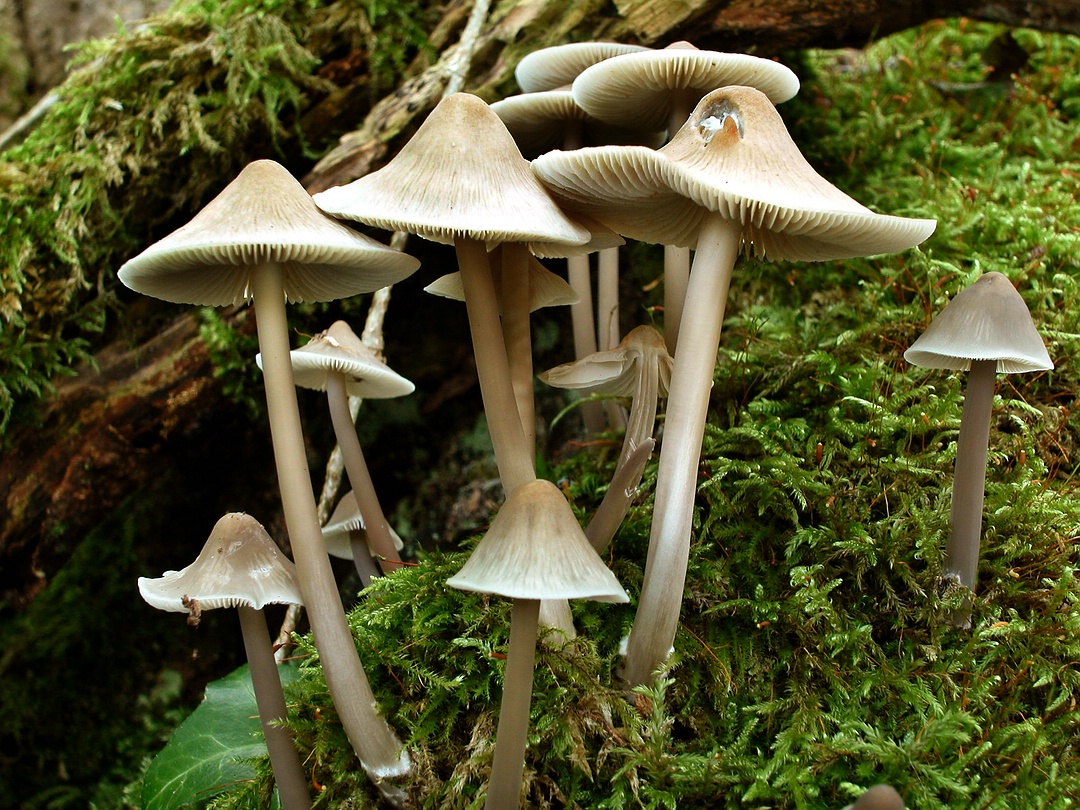 Mycena galericulata (Rosablättriger Helmling)