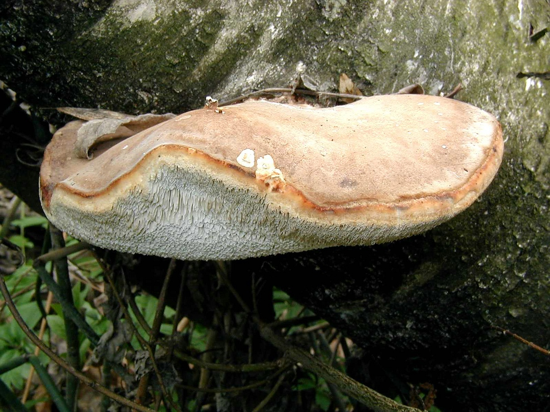 Piptoporus betulinus (Birken-Porling)