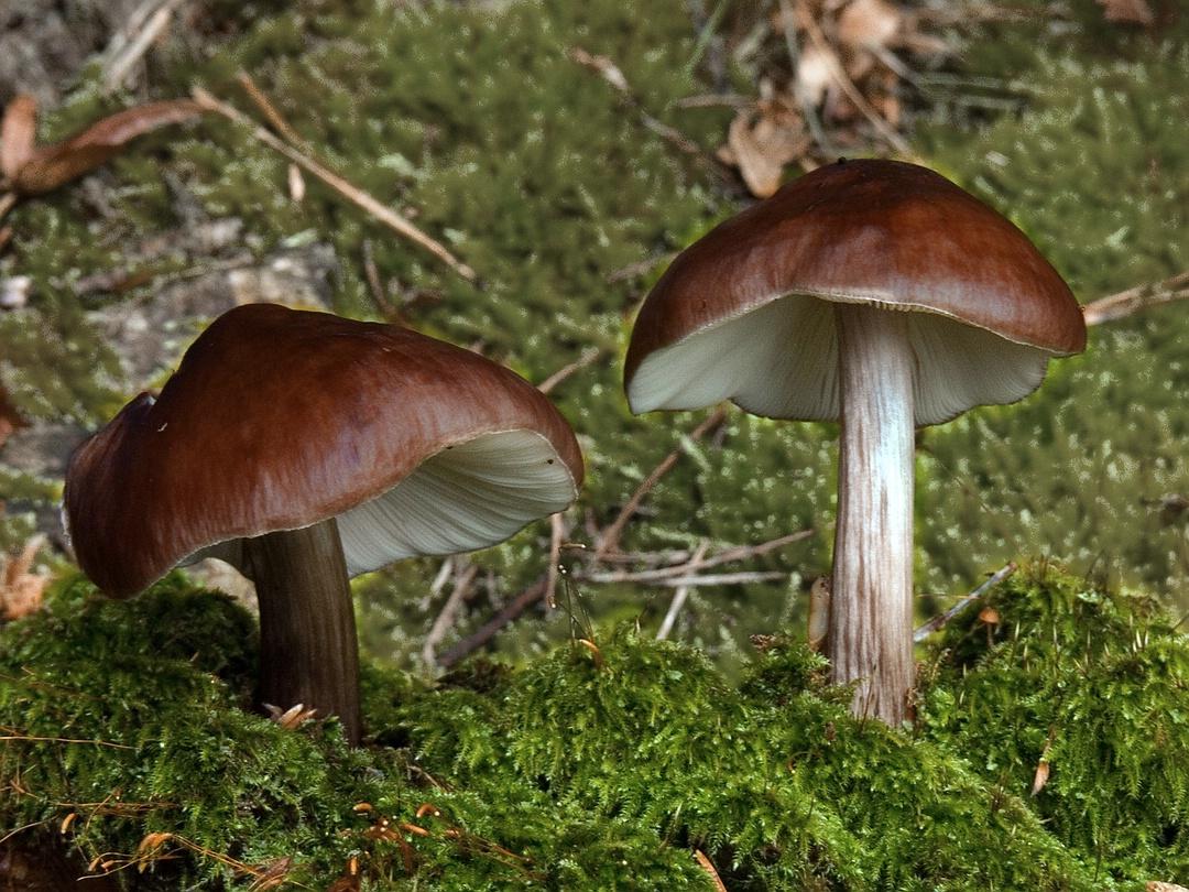 Pluteus cervinus (Rehbrauner Dachpilz)