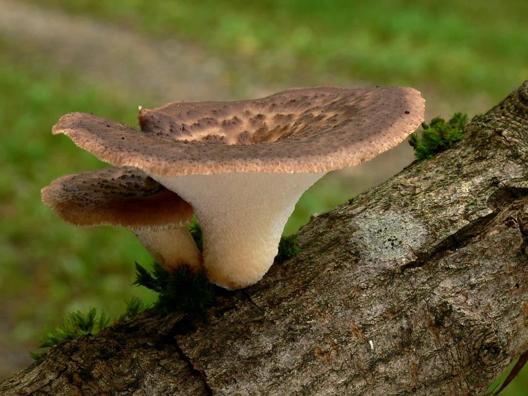 Polyporus tuberaster (Sklerotienporling)