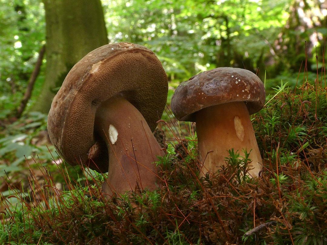 Porphyrellus porphyrosporus (Porphyr-Röhrling, Düsterer Röhrling)