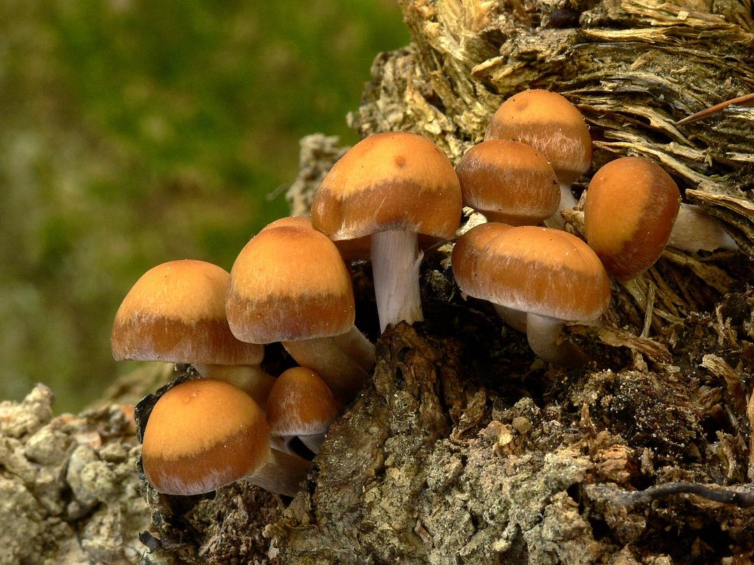 Psathyrella piluliformis (Weissstieliges Stockschwämmchen)