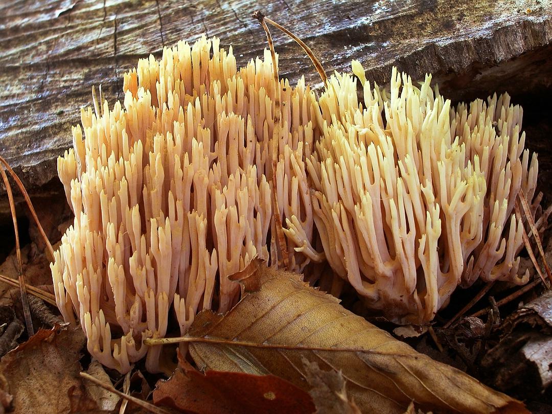 Ramaria stricta (Steife Koralle)