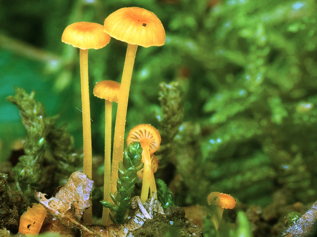 Rickenella fibula (Orangeroter Heftelnabeling)