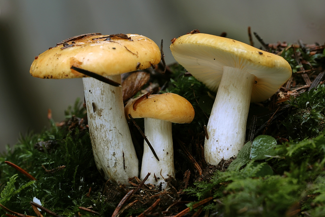 Russula ochroleuca (Ockertäubling)