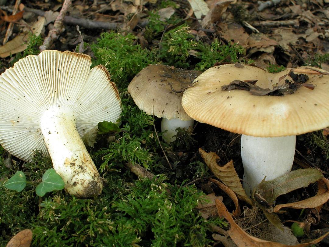 Russula pectinatoides (Kratzender Kammtäubling)