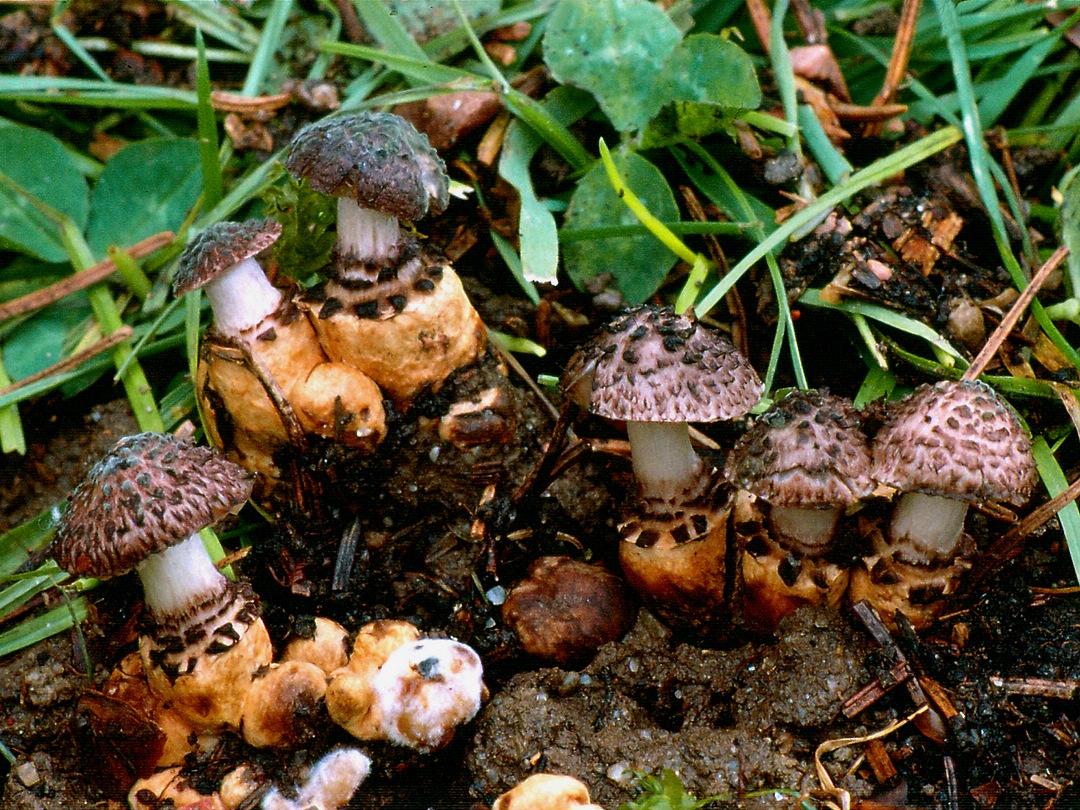 Squamanita odorata (Duftender Schuppenwulstling)