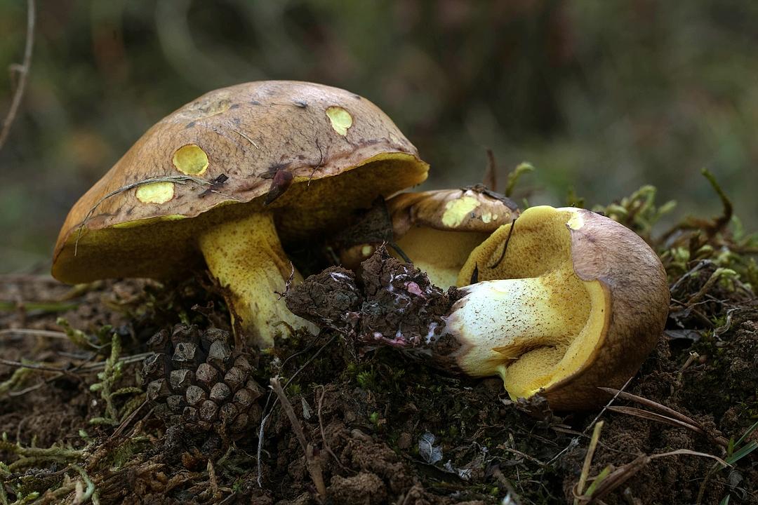 Suillus collinitus (Ringloser Butterpilz)