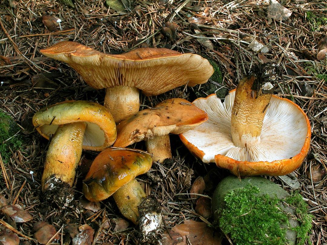 Tricholoma aurantium (Orangeroter Ritterling)