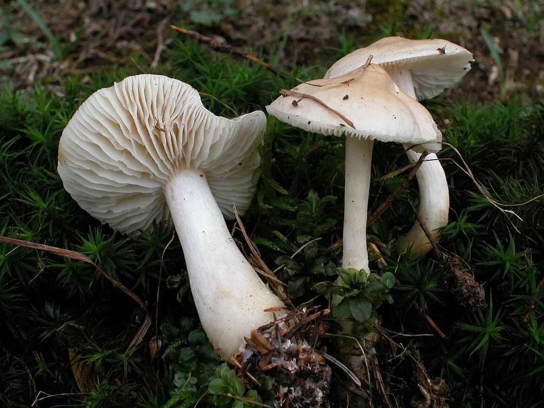 Tricholoma inamoenum (Lästiger Ritterling)