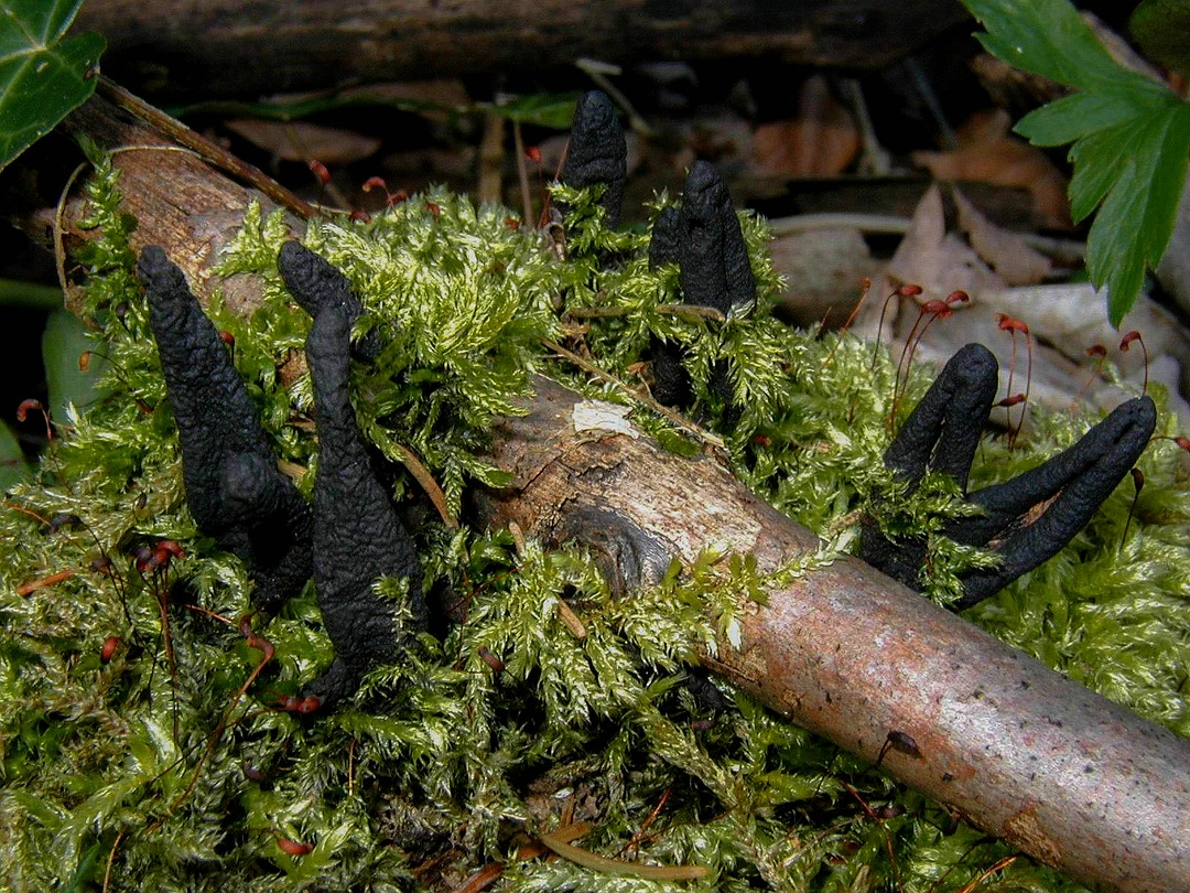 Xylaria longipes (Langstielige Ahorn-Holzkeule)